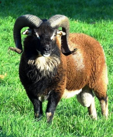 mouton_soay