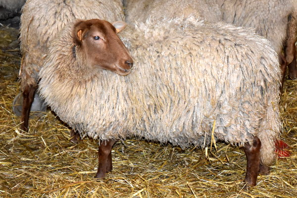 mouton_roux_ardenais_svd